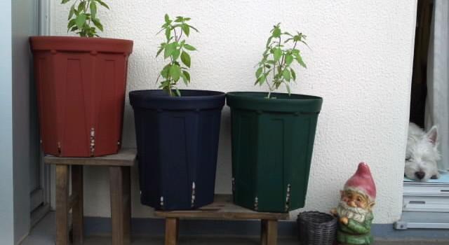 お便り🎶ホーリーバジルのポット苗を移植するときの鉢のめやす
