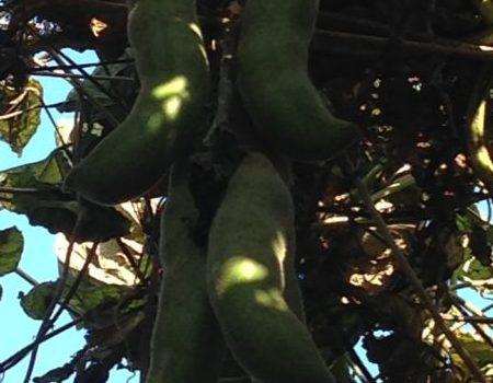 2016年ムクナ豆の収穫を始めました~その1~