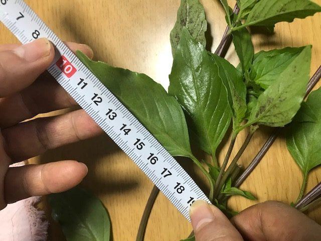 ホーリーバジル都城で栽培しているホーリーバジルの葉っぱの大きさを検証する写真
